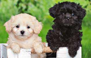 rase de câini frumoși Pekeapoo