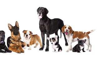 rase de câini care latră foarte rar