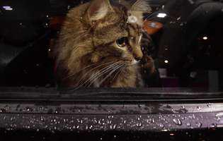 Ce ai de făcut dacă pleci la drum cu mașina alături de pisica ta de companie