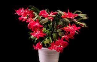 Cele mai bune sfaturi să îngrijești cactusul de Crăciun