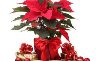 Cum îngrijești Crăciunița să rămână înflorită