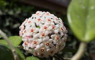 5 secrete pe care trebuie să le cunoști despre floarea de ceară