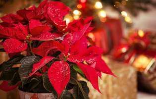 îngrijești Floarea Crăciunului