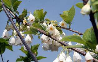 copacul cu ghiocei Halesia carolina
