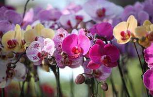 Cum se udă corect orhideele