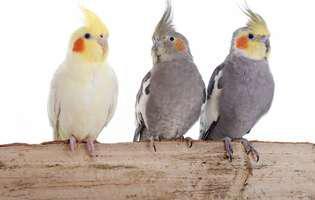 Cum să îngrijești și să dresezi papagalul nimfă
