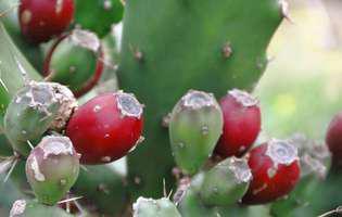 Cactusul Nopal este bogat în vitamine și minerale