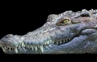 crocodil inghitit de un piton