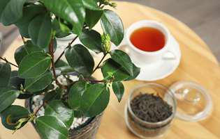 Știai că planta de ceai este o specie de camelie? Iată cum se cultivă!