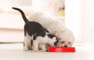 Pisicile pot mânca hrana pentru câini? Cât de sigură este!