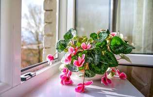 Cum afectează fumul de țigară plantele de cameră