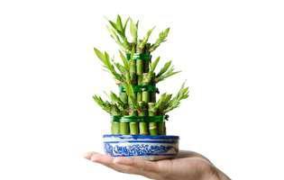 Bambusul îți aduce belșug în casă