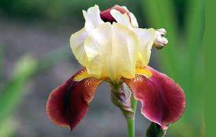 Irișii, flori cu parfum de legendă în grădina ta!