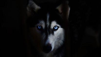 O fetiță, mușcată de față de un Husky. Stăpâna câinelui a făcut infarct din cauza sperieturii și a murit