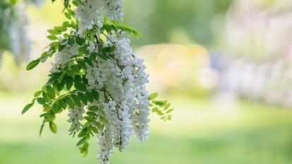 ce boli pot fi tratate cu flori de salcâm