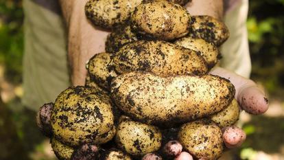 cartofi toxici