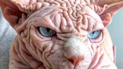 POZE DE SENZAȚIE!!! Am descoperit cea mai urâtă pisică din lume