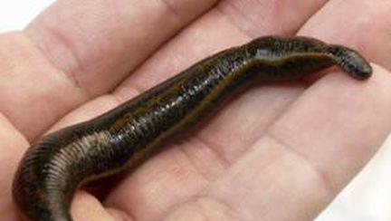 Bioterapia, tratamente cu larve şi viermi paraziţi