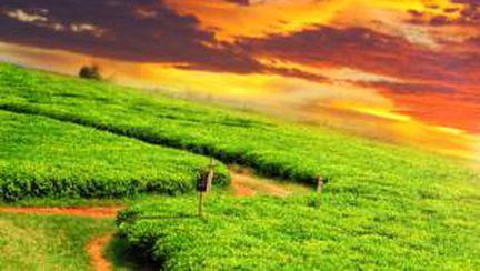 Video: De unde vine ceaiul verde