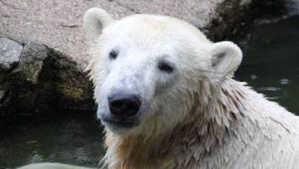 Video: Ultimul minut cu ursul Knut în viaţă