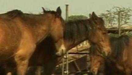 Flash mob în Piaţa Victoriei, pentru salvarea cailor sălbatici