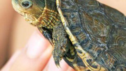 Cum îngrijeşti ţestoasa de acvariu