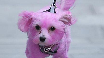 Scandalos: Ghici ce vedetă şi-a vopsit căţelul roz