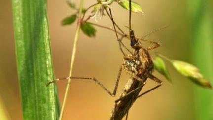 Încă o insectă periculoasă: ţânţarul tigru transmite o gripă gravă