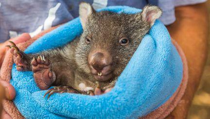 Pui de wombat