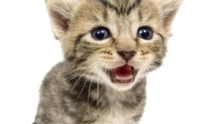Descifreaza limbajul pisicilor