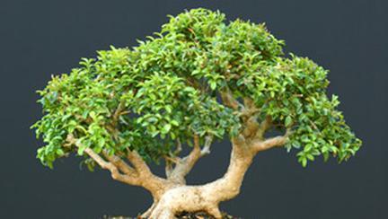 Cum să-ţi faci propriul bonsai