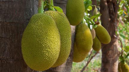 Descoperire incredibilă! Jackfruit, fructul care poate înlocui cu succes carnea