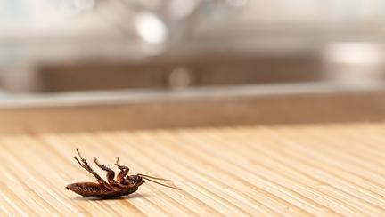 Plantele care țin gândacii departe de casa ta
