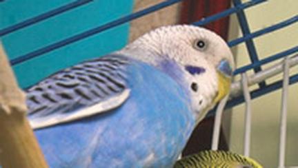 Pasari de colivie: perusul, ruda mai mica a papagalului