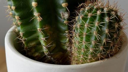 de ce nu e bine sa ai cactusi in casa