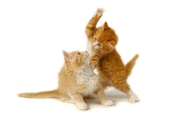 Cum ajuți două pisici să se împrietenească