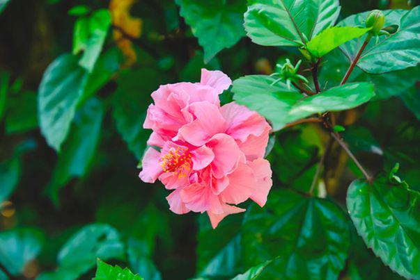De ce își pierde frunzele trandafirul japonez. Cum trebuie să îl îngrijești iarna