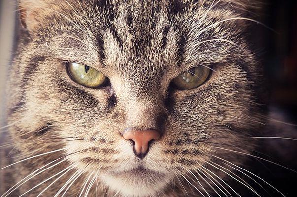Oasele de pui sau carnea crudă sunt bune pentru pisici sau nu?