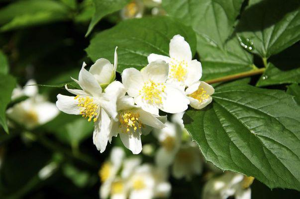 Iasomia parfumată, floarea prețioasă din grădină