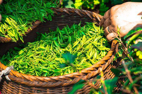 Cât de sigur este să consumi ceai verde în timpul alăptării