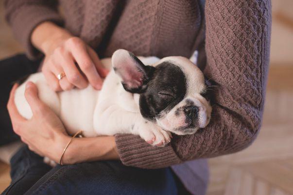 Toxocariază -infecție cauzată de larvele a două specii de viermi cilindrici: Toxocara canis transmis de câine și, mai rar, Toxocara cati transmis de pisici. Imagine cu pui de cățel, prin intermediul căruia se poate produce contaminarea cu acest parazit