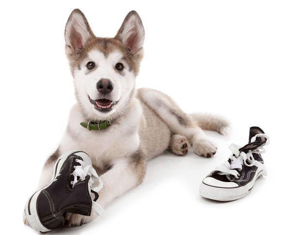 Cum dezveți câinele să-ți mai roadă pantofii