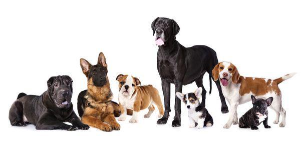5 rase de câini care latră foarte rar