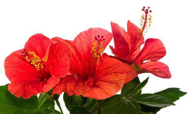 Cele mai frumoase 5 plante cu flori roșii