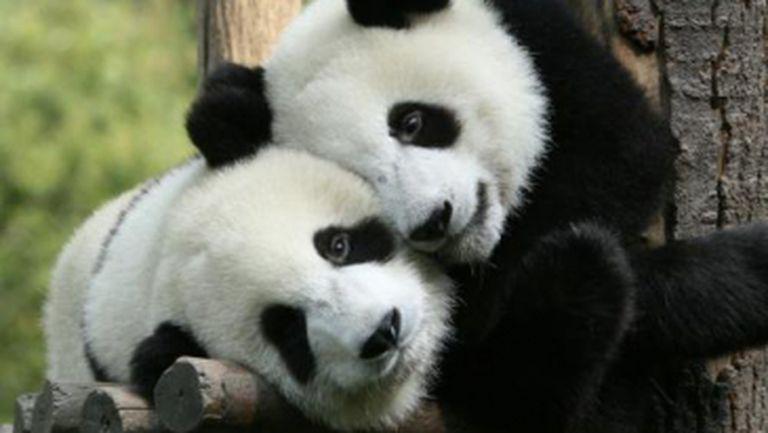 Video haios: uite cum se joacă puii de panda pe tobogan!