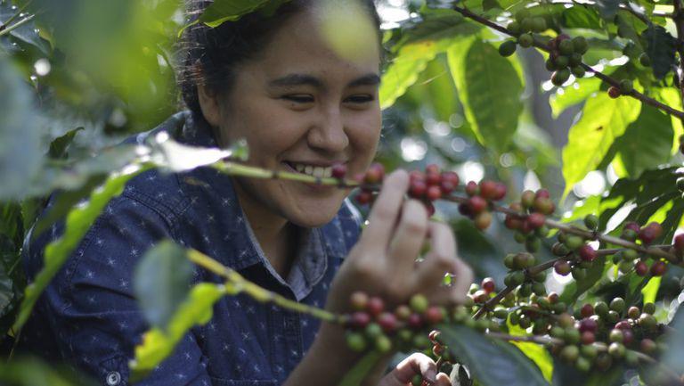 femeie care culege cafea