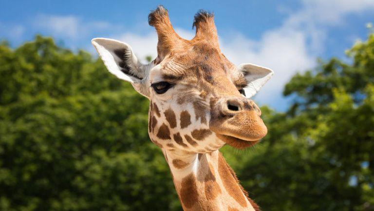 capul unei girafe
