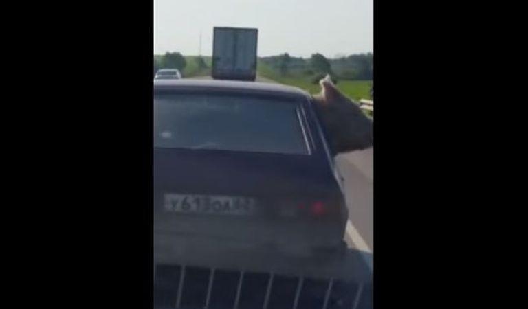 Cum se transportă porcul în Italia? | VIDEO