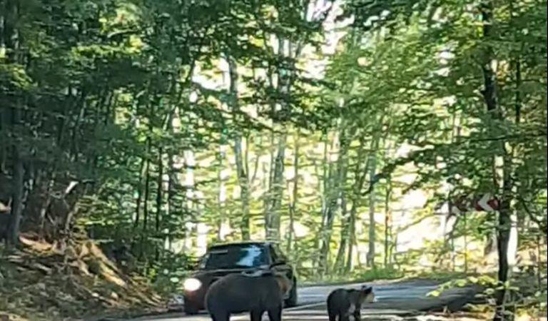 Un șofer a încearcat să lovească cu mașina un urs aflat pe șosea (Video)