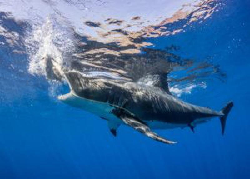 Invazia rechinilor în ape mici